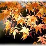 弥彦公園もみじ谷 松雲山荘 美人林の紅葉の見頃はいつ?