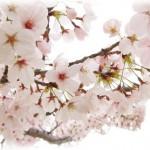 京都の桜 花見の見ごろの時期はいつ?夜桜の時期やライトアップは?
