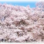 吉野桜見頃は?アクセス 京都から電車なら?開花状況は?