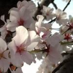 一心行の大桜開花予想とアクセスと渋滞の覚悟は必要か?