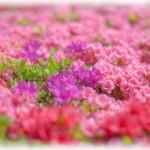 箱根山のホテル リニューアルされた庭園 つつじの見ごろは?