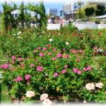 大阪中之島公園バラ園の見頃は?近くのレストランと最寄駅