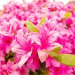 箱根山のホテル つつじ・しゃくなげフェアの見頃と開花状況