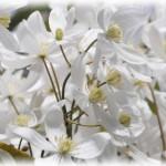 クレマチスの丘の楽しみ方 花の見頃とアクセス