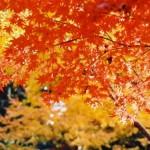 河内庭園の紅葉の時期 秋のもみじのトンネル見頃はいつ?